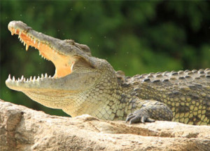 nile crocodile on the side