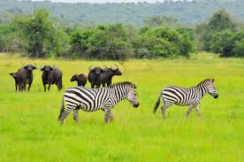 3 Days Kibale Chimpanzee Trekking Safari with Wildlife in Lake Mburo / 3 Days Uganda Chimpanzee Trekking Safari Kibale and Wildlife in Lake Mburo