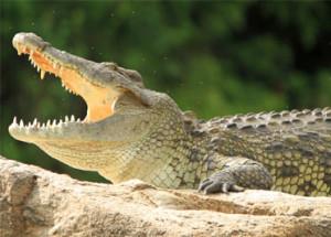 nile crocodile on the side